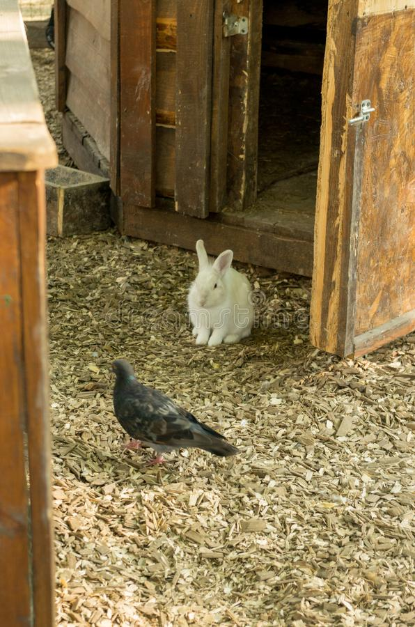 White hare and dove. Animals. royalty free stock image