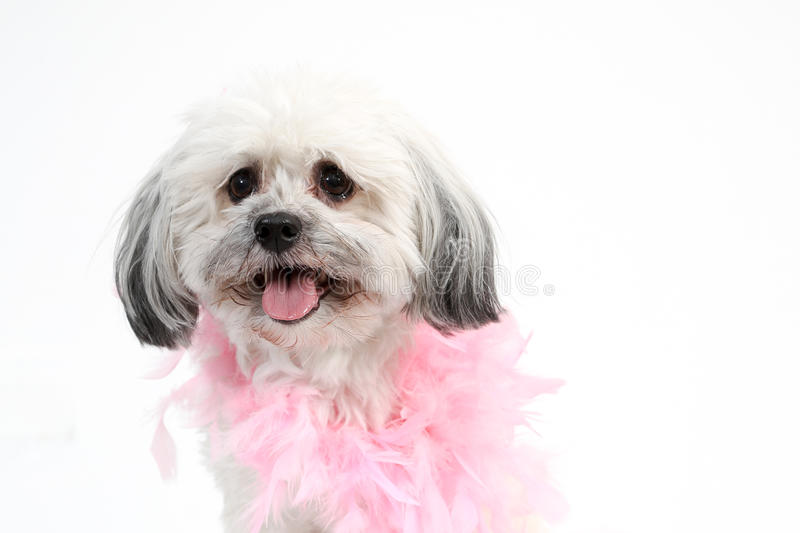 White Havanese dog with pink boa royalty free stock photography