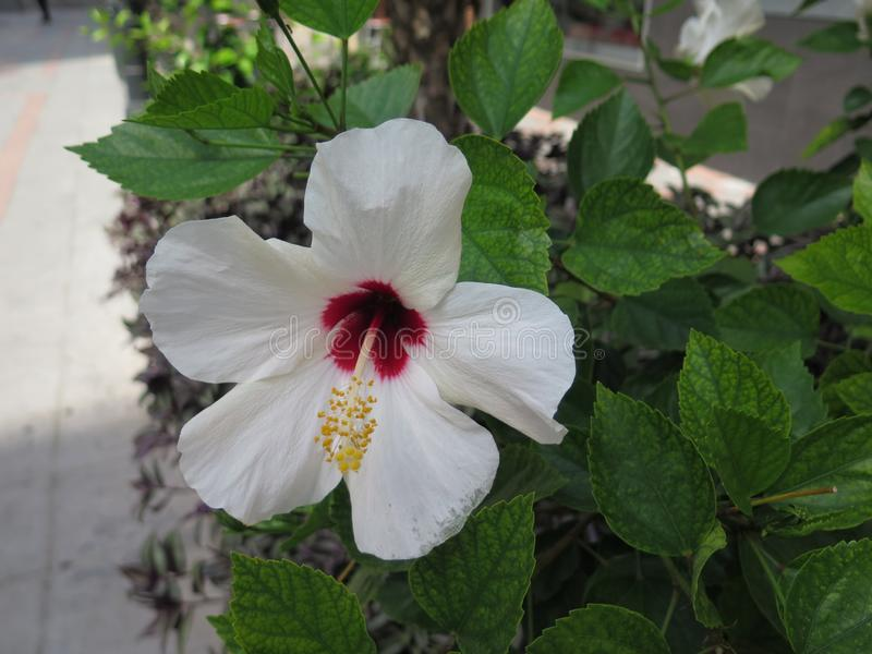 White Hawaiian Hibiscus flower with red centre royalty free stock images