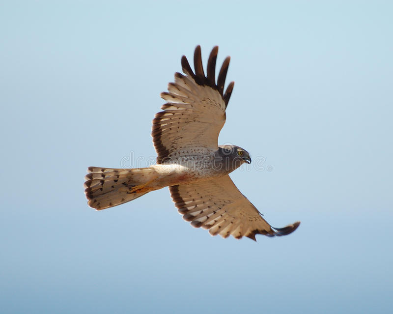 Download White hawk stock image. Image of feathers, prey, flying - 10233309