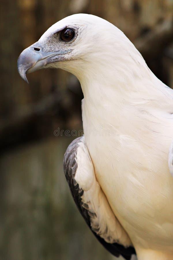 White Head Bald Eagle Sight Black Eye royalty free stock image