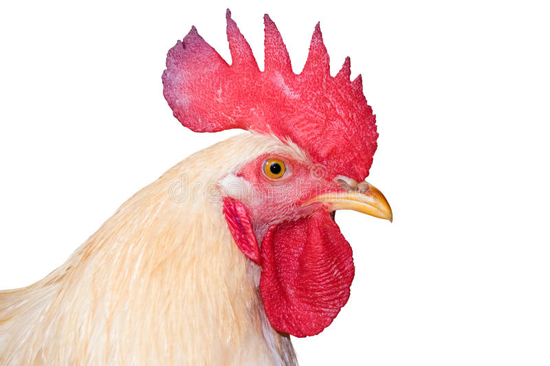 White Head chicken bantam ,isolated Rooster on white (Die cutting) royalty free stock image
