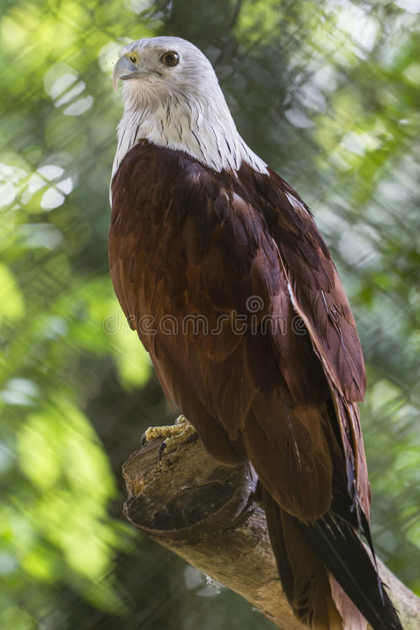 Download White head eagle stock photo. Image of image, claw, majestic - 28566108