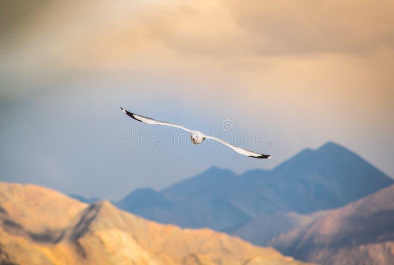 White Head Sea Gull Flying among mountains. White Head Sea Gull Flmong mountains, water, sky, ocean, nature, landscape, bird, background, blue, shore, coast royalty free stock image
