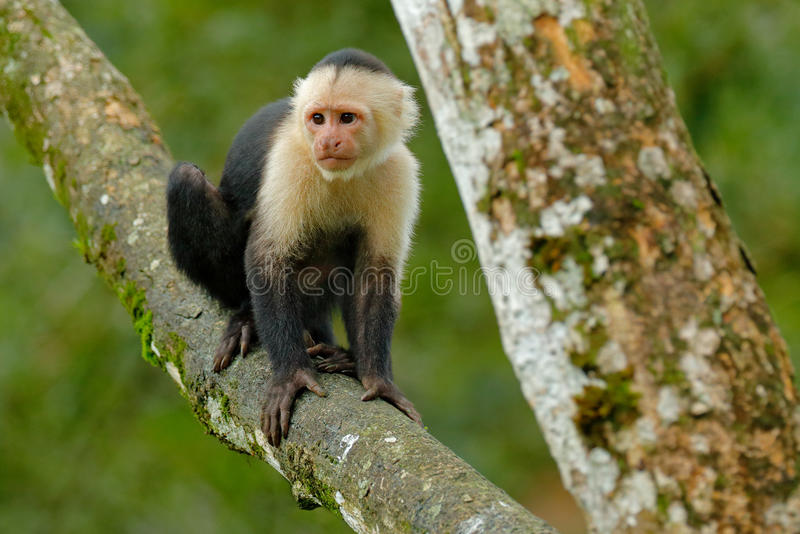 White-headed Capuchin, black monkey sitting on the tree branch in the dark tropic forest. Cebus capucinus in gree tropic vegetatio royalty free stock photo