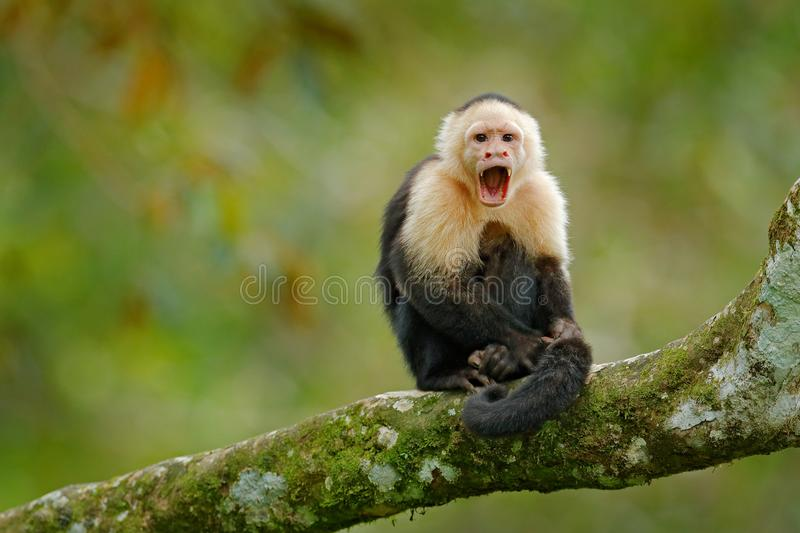 White-headed Capuchin, black monkey sitting on tree branch in the dark tropic forest. Wildlife Costa Rica. Travel holiday in Centr royalty free stock photo