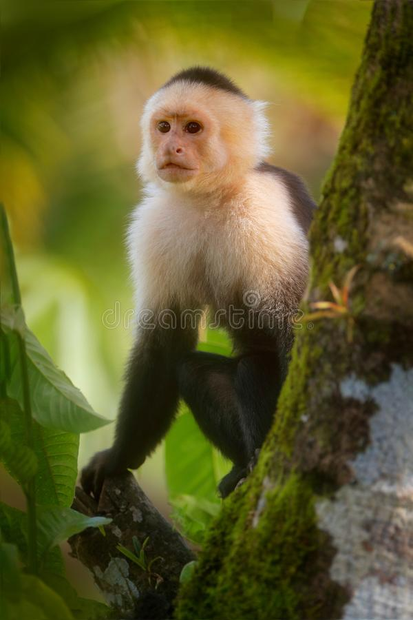 White-headed Capuchin, black monkey sitting on tree branch in the dark tropical forest.  Wildlife of Costa Rica. Travel holiday in. Central America. Monkey in stock image