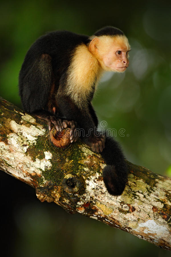 White-headed Capuchin, Cebus capucinus, black monkey sitting on the tree branch in the dark tropic forest, animal in the nature ha. Bitat, Costa Rica royalty free stock photo