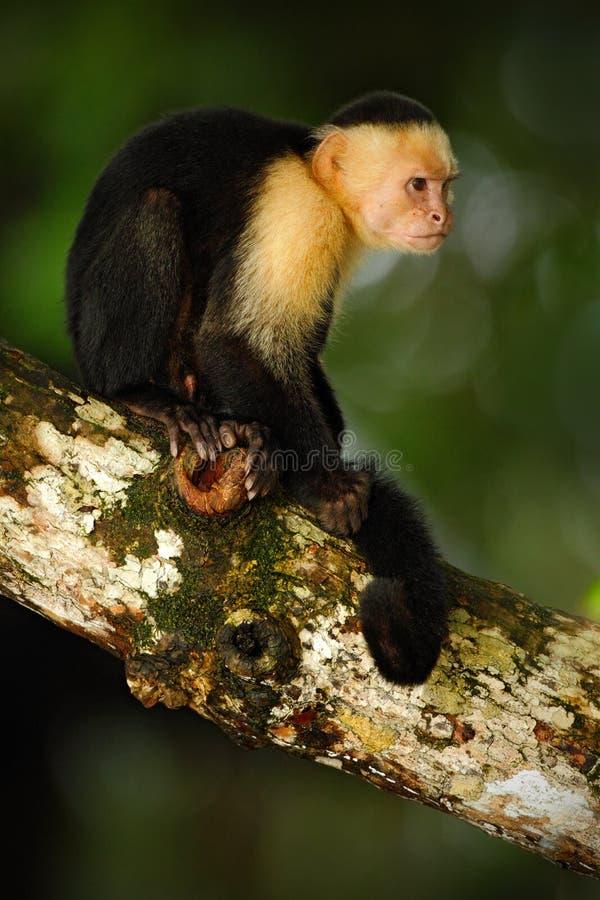White-headed Capuchin, Cebus-capucinus, zwarte aapzitting op de boomtak in het donkere tropische bos, dier in de aard Ha royalty-vrije stock foto