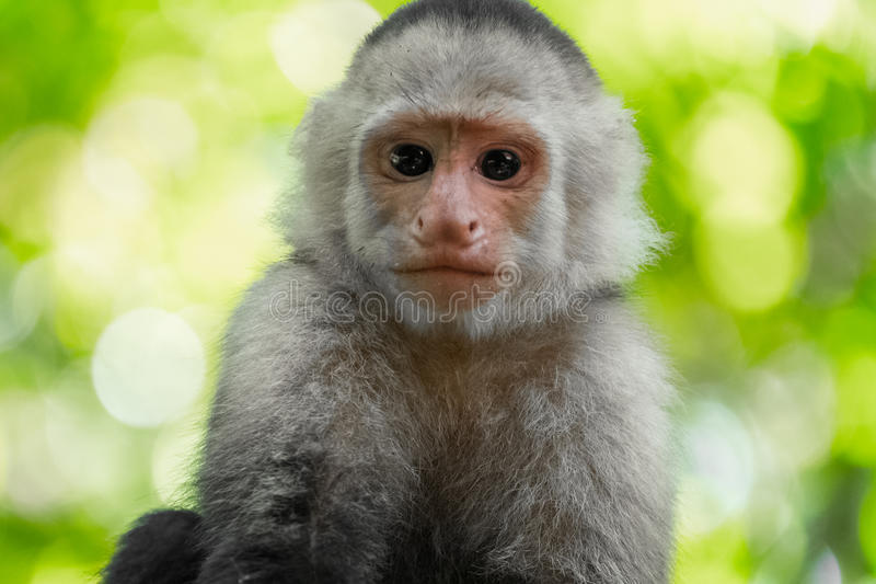 White headed capuchin monkey. Cebus capucinus in a wild with natural background stock image