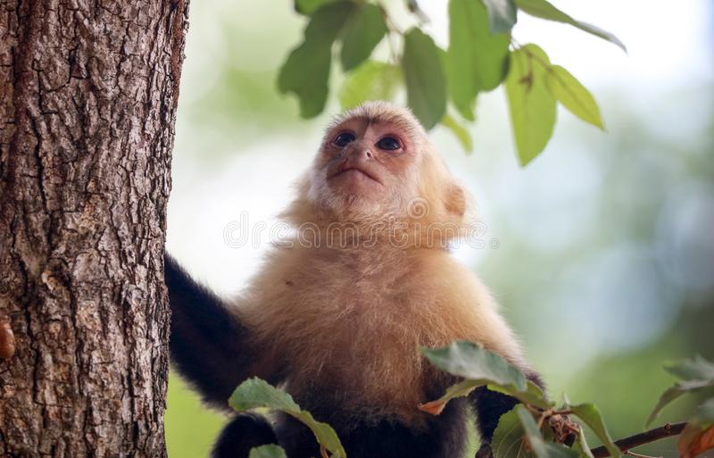 White-headed Capuchin monkey white face in the jungle of Costa Rica. During summer in the jungle royalty free stock photography