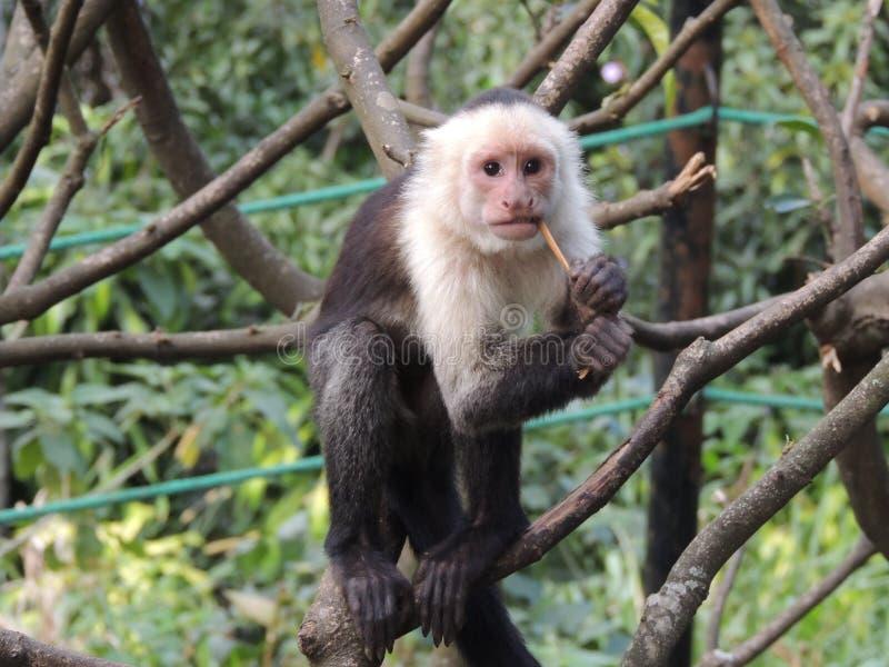 White headed capuchin monkey stock images