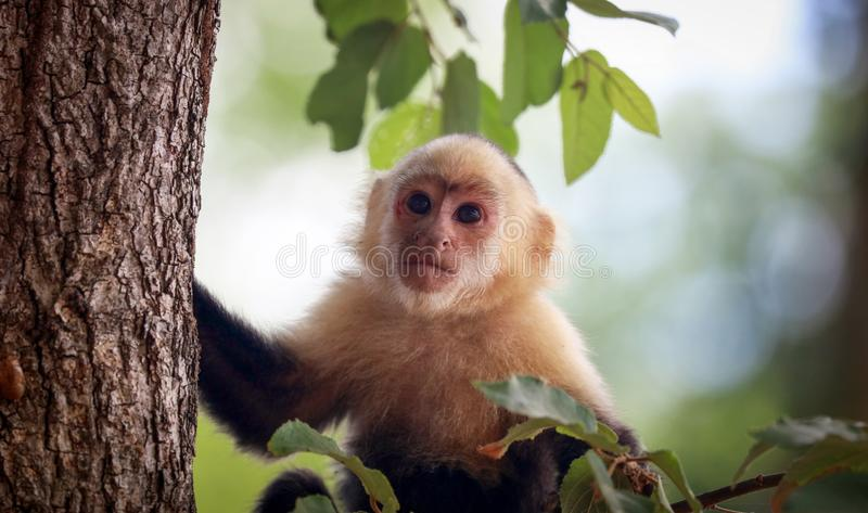 White-headed Capuchin monkey white face in the jungle of Costa Rica. During summer in the jungle stock photos