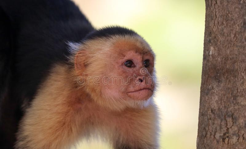 White-headed Capuchin monkey white face in the jungle of Costa Rica stock photo