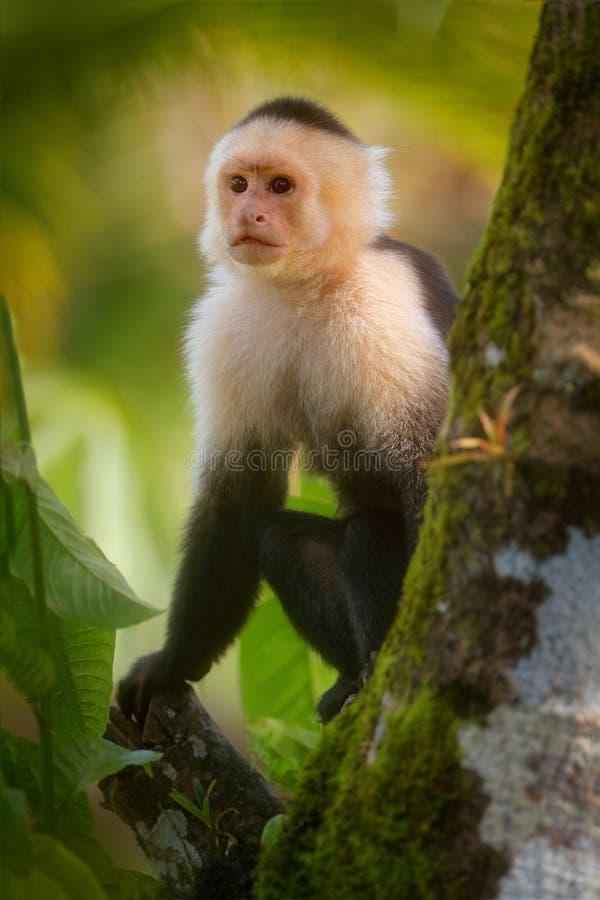 White-headed Capuchin, zwarte aapzitting op boomtak in het donkere tropische boswild van Costa Rica Reisvakantie binnen stock afbeelding