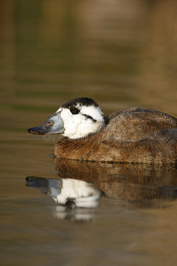 Download White Headed Duck,Oxyura Leucocephala Stock Images - Image: 34313004