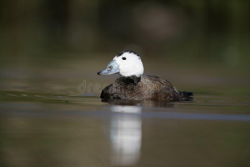 Download White Headed Duck,Oxyura Leucocephala Stock Photo - Image: 34313044