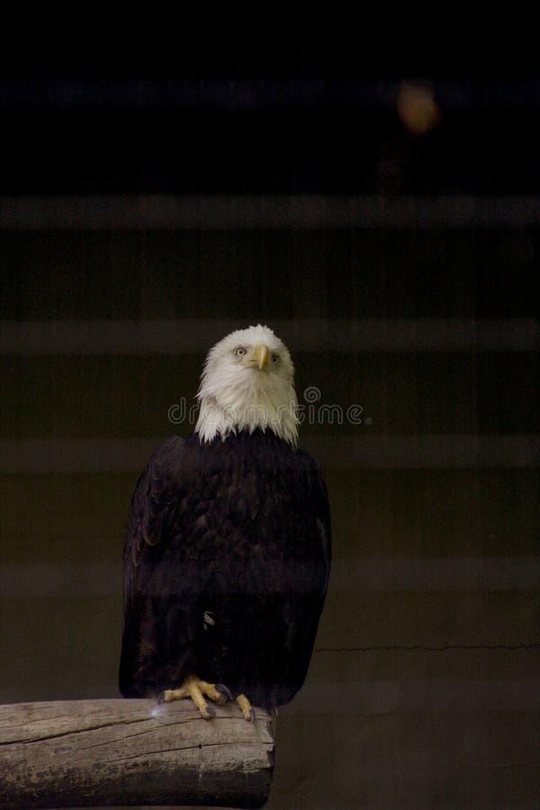 White headed eagle, bald eagle royalty free stock photo