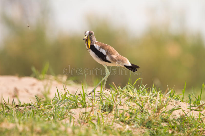 Download White-headed Lapwing stock image. Image of plover, feathers - 18389047