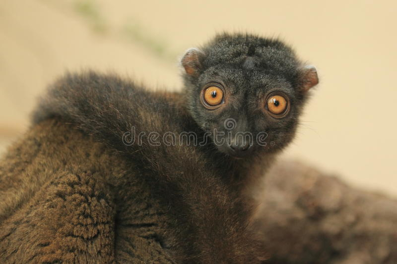 White-headed Lemur lizenzfreies stockbild