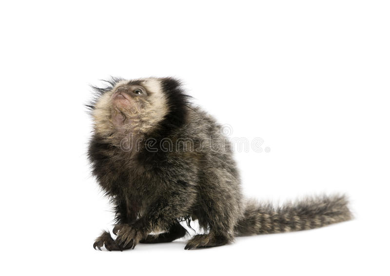 Download White-headed Marmoset Against White Background Stock Photo - Image of indoors, baby: 10938900