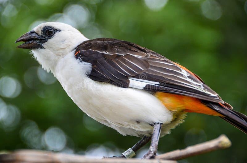 White-Headed Vogel van de Wever van Buffels stock foto's