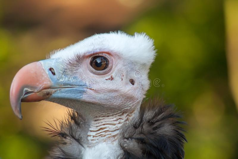 A white headed vulture stock photos