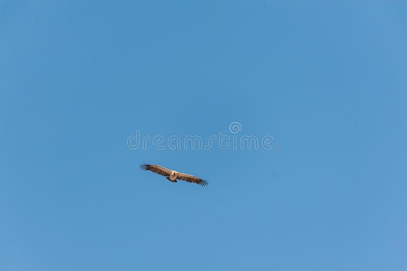 White-headed Vulture in Flight over Etosha. A White-headed vulture -Trigonoceps occipitalis- circling over Etosha National Park, Namibia stock images