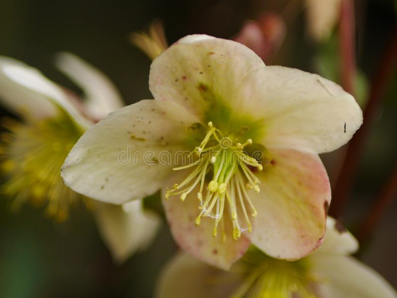 White Hellebore Flower Closeup. Close up of a white / pale pink hellebore flower royalty free stock photography