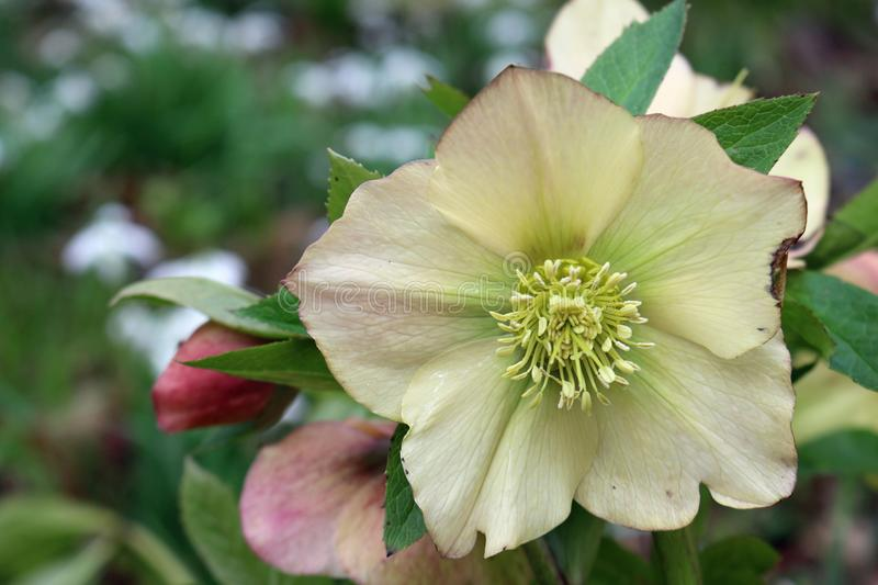 White hellebore flower. White, pink and green hellebore Helleborus flower with leaves and flowers of the same plant in the background royalty free stock photography