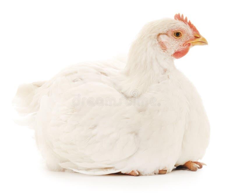 White hen stock photos