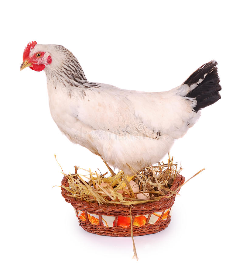 White hen on white. White hen in basket with eggs, isolated on white royalty free stock photo