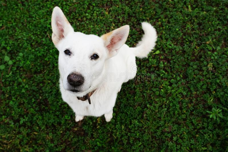 White herding dog is looking at you sitting on green grass background royalty free stock photos