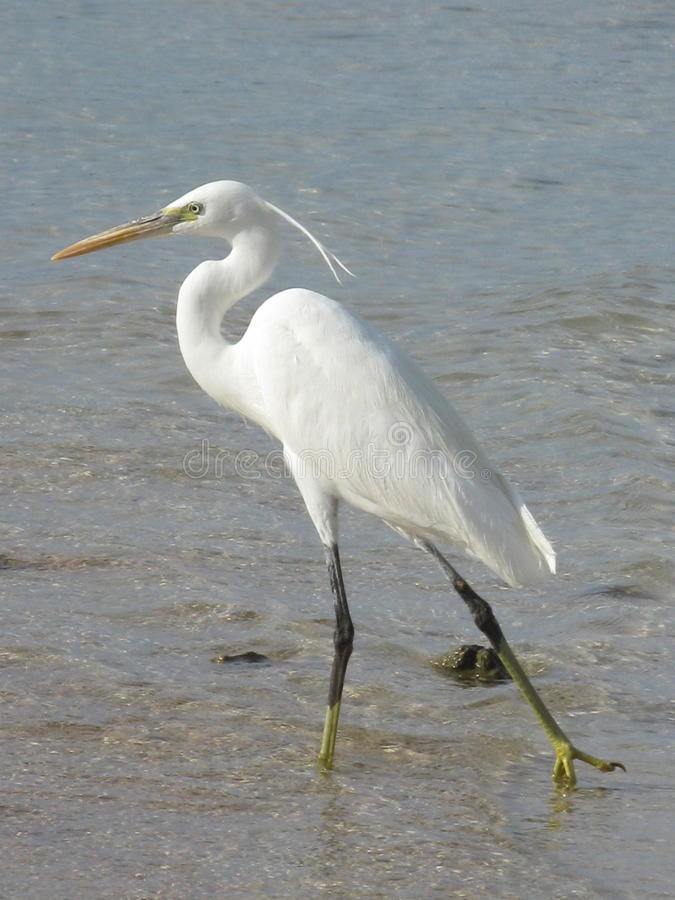 White heron stock photography