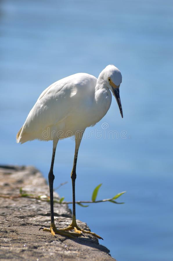White Heron royalty free stock photo