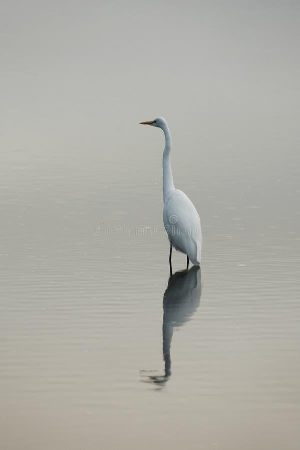 white heron fotografia royalty free