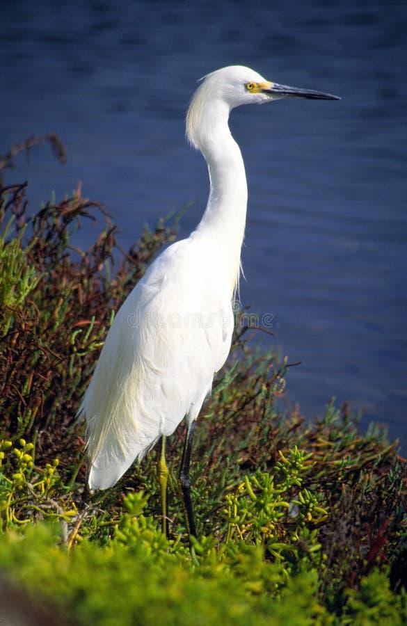 White Heron. Portrait, Bolsa Chica wetlands, Huntington Beach, California, U.S.A royalty free stock image