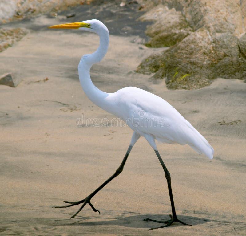 Free White Heron (Ardea Herodias) Stock Image - 885131
