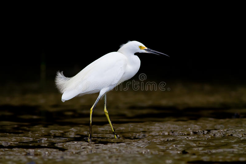 Download White Heron On The Banks Or A River Stock Photo - Image: 26673710