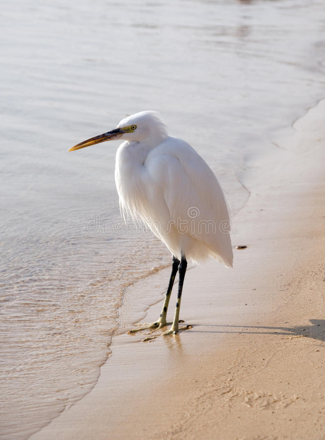 White Heron On The Beach , Egypt, Africa Royalty Free Stock Images