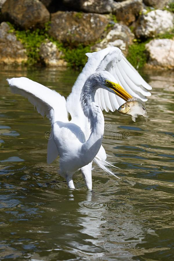 White Heron catches fish royalty free stock photography