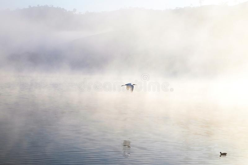 White Heron in flight during dawn at in above the morning lake stock image