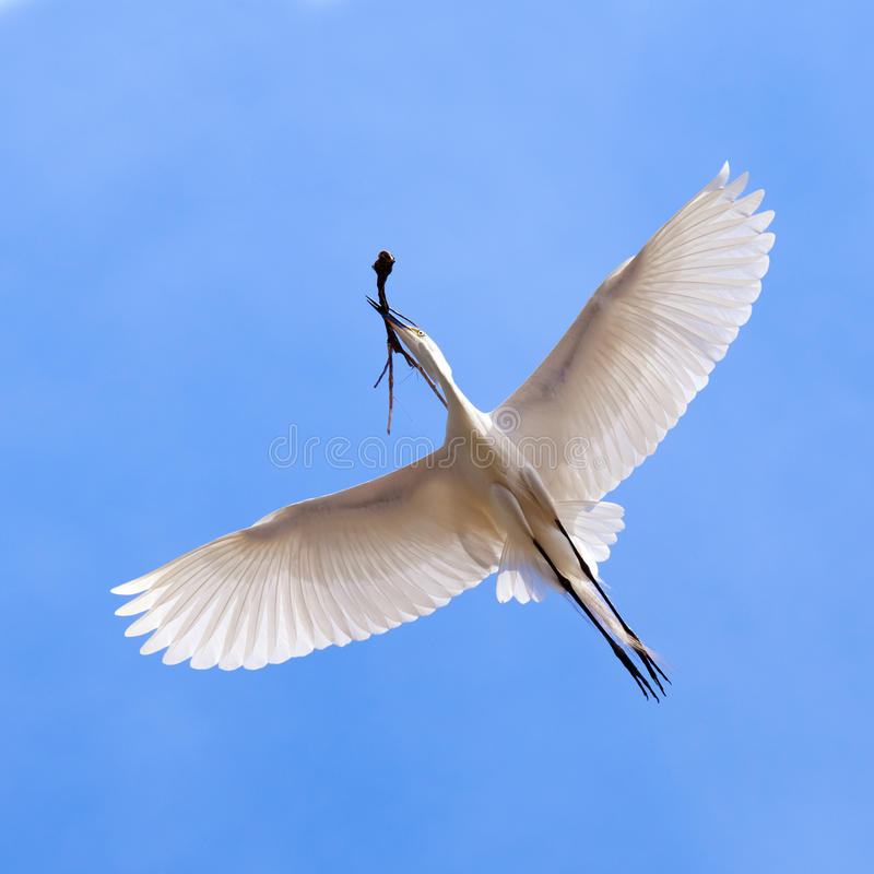 White Heron In Flying Action Royalty Free Stock Photography