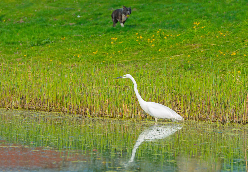 White heron hunts fish in a river. In spring stock photography