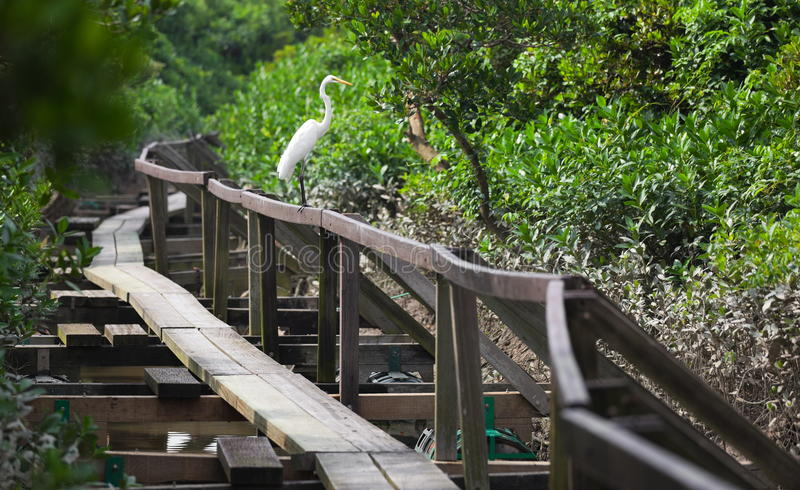 White Heron. Mai Po. Hong Kong. royalty free stock photography