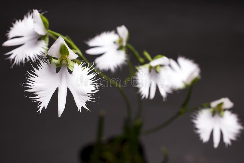 White heron orchid flowers royalty free stock images