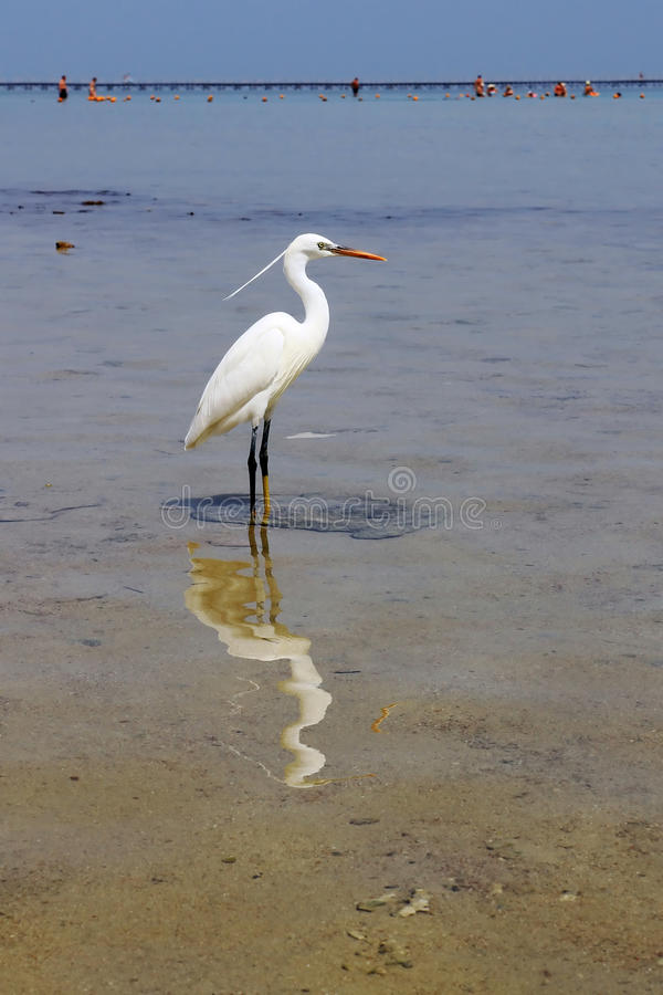 Download White heron in Red Sea stock image. Image of beautiful - 24023555