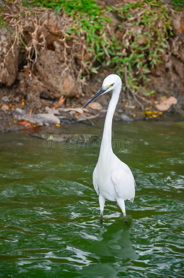 White heron in a river stock photo