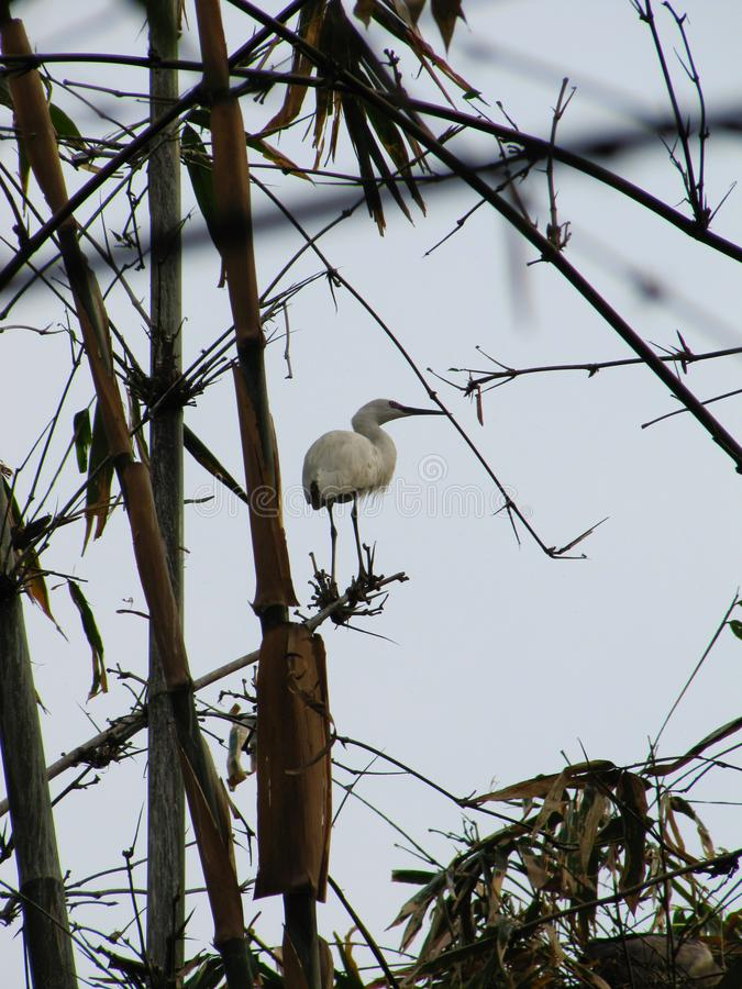 White heron sitting on a bamboo royalty free stock photography