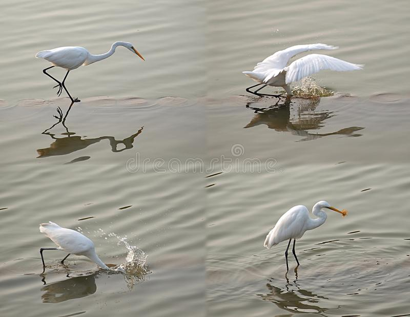 Download White Heron Snatches A Fish Stock Image - Image: 23272439